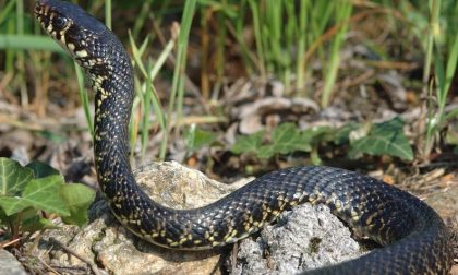Ecco l'incredibile strategia per bere del serpente a sonagli
